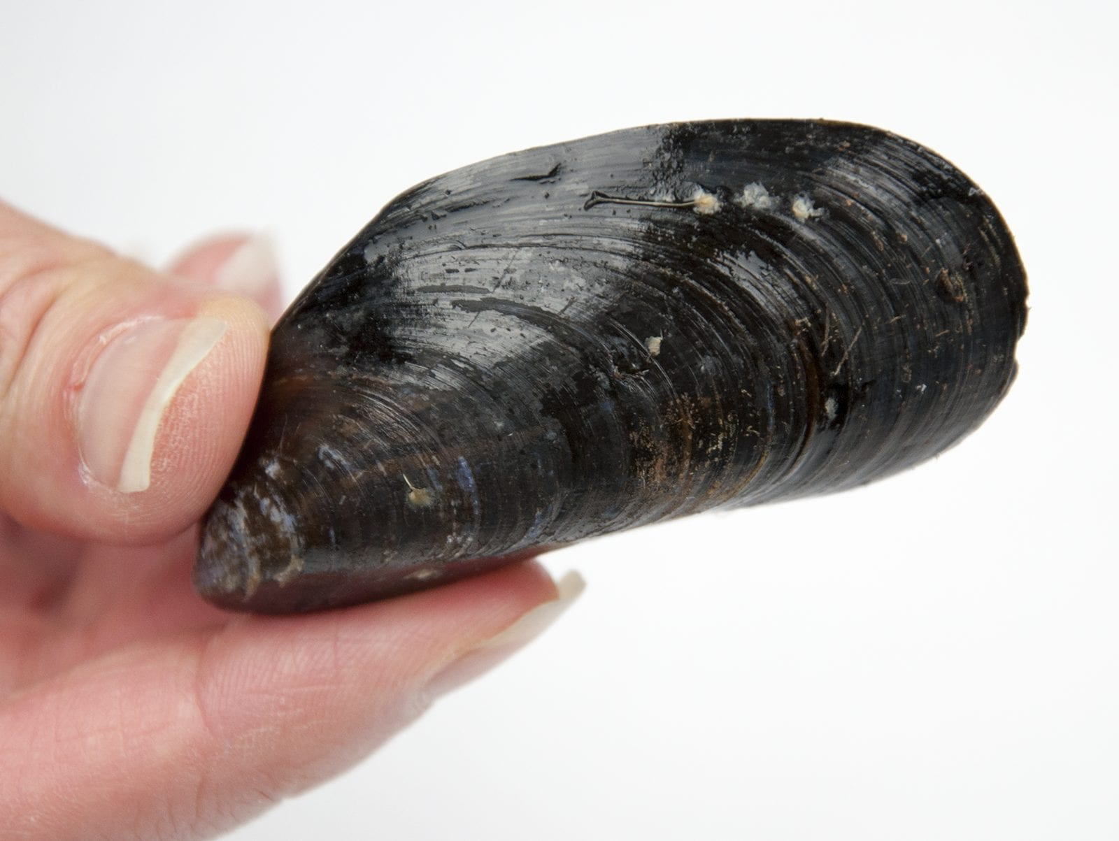 How to prepare a mussel. Make wonderful seafood recipes safely. Clean, debeard and sift out your dead mussels before cooking. | https://theyumyumclub.com